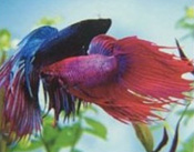 Care and feeding of the Betta  Siamese fighting fish